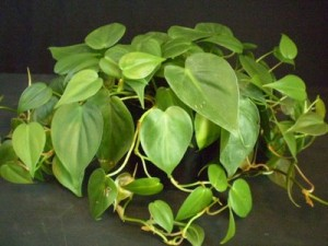 philodendron hederaceum (own)
